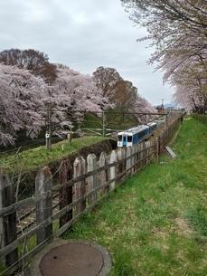 桜と列車の写真素材 [FYI01254358]