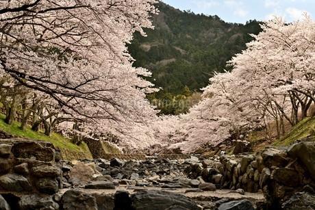 桜並木の写真素材 [FYI01254364]
