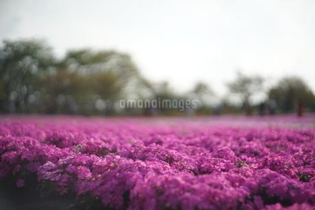 花畑の写真素材 [FYI01254375]