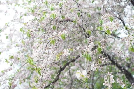 葉桜の写真素材 [FYI01254383]