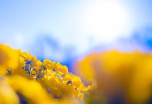 青空の下 美しく咲く黄色の華の写真素材 [FYI01254404]