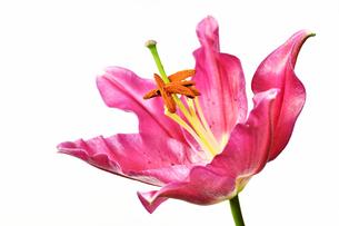 白背景のユリの花の写真素材 [FYI01254405]
