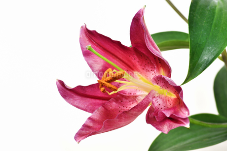 白背景のユリの花の写真素材 [FYI01254406]