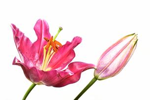 白背景のユリの花の写真素材 [FYI01254407]