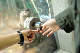 カワウソと握手の写真素材 [FYI01254640]