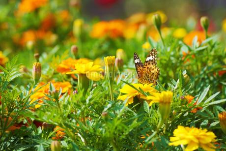 マリーゴールドと蝶々の写真素材 [FYI01254657]