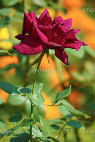 古河庭園の薔薇の写真素材 [FYI01254660]