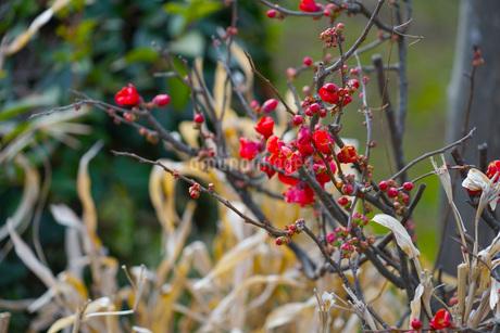 梅のイメージの写真素材 [FYI01254662]