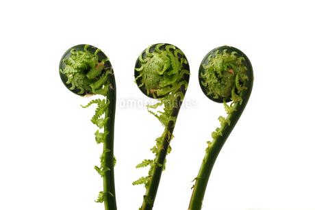 山菜,  こごみの写真素材 [FYI01254688]