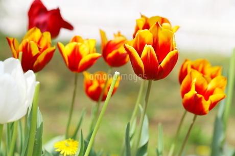 春の花 チューリップの写真素材 [FYI01254727]