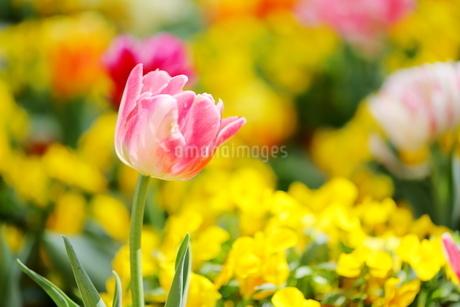 春の花 チューリップの写真素材 [FYI01254734]