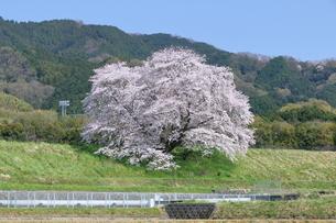 幾坂池の一本桜の写真素材 [FYI01254773]