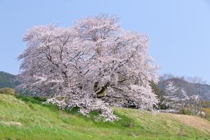 幾坂池の一本桜の写真素材 [FYI01254775]