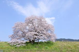 幾坂池の一本桜の写真素材 [FYI01254778]