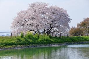 幾坂池の一本桜の写真素材 [FYI01254782]