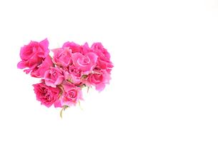薔薇の写真素材 [FYI01254932]
