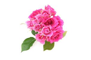 薔薇の写真素材 [FYI01254933]