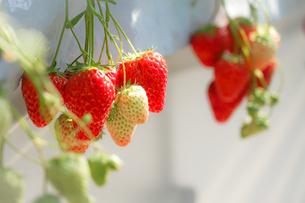 苺のイメージの写真素材 [FYI01254966]
