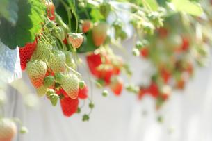苺のイメージの写真素材 [FYI01254967]