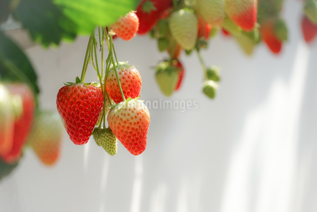 苺のイメージの写真素材 [FYI01254968]