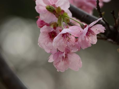 桜の花の写真素材 [FYI01255015]