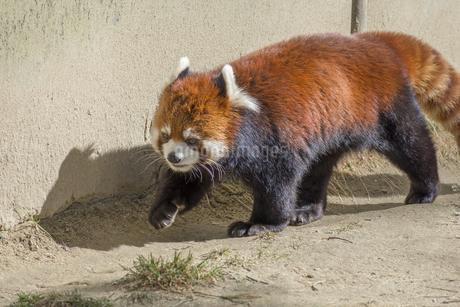 仙台の八木山動物園のレッサーパンダの写真素材 [FYI01255019]