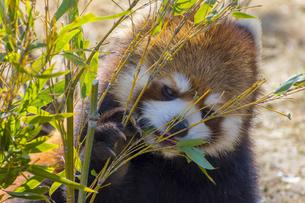 仙台の八木山動物園のレッサーパンダの写真素材 [FYI01255021]