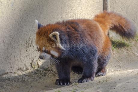 仙台の八木山動物園のレッサーパンダの写真素材 [FYI01255025]
