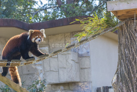 仙台の八木山動物園のレッサーパンダの写真素材 [FYI01255037]