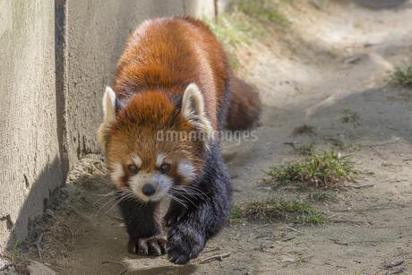 仙台の八木山動物園のレッサーパンダの写真素材 [FYI01255038]