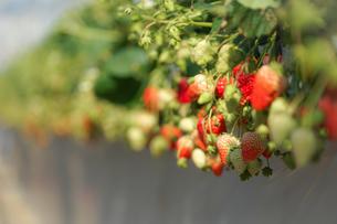 苺のイメージの写真素材 [FYI01255141]