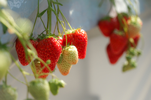 苺のイメージの写真素材 [FYI01255142]