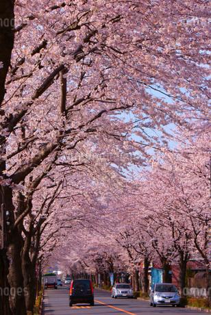 日本庭園の桜イメージの写真素材 [FYI01255143]