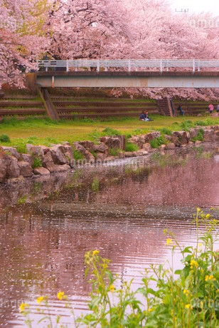 春の野川(調布市)の写真素材 [FYI01255145]