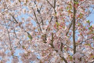 桜イメージの写真素材 [FYI01255146]