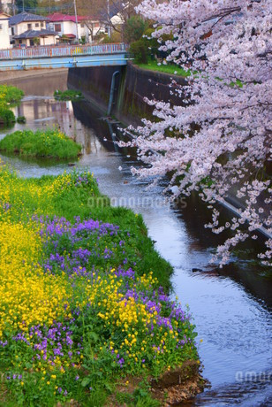 春の野川(調布市)の写真素材 [FYI01255166]