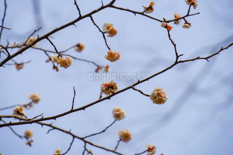梅のイメージの写真素材 [FYI01255181]