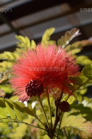赤いフサフサの花の写真素材 [FYI01255200]