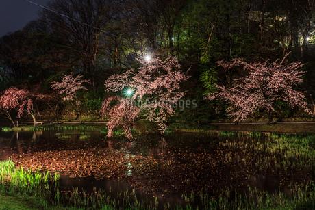 春のライトアップされた久保田城跡の風景の写真素材 [FYI01255202]
