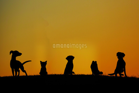 丘に立つ犬のシルエットの写真素材 [FYI01255237]