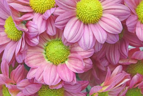 菊のクローズアップの写真素材 [FYI01255473]