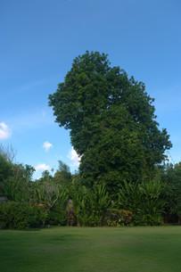 青空にそびえ立つ巨木がある芝生の庭の写真素材 [FYI01255478]