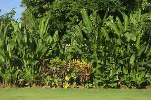 大きな葉の庭木がある芝生の庭の写真素材 [FYI01255479]