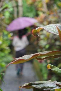 雨に打たれる大きな葉っぱの南国植物の写真素材 [FYI01255489]