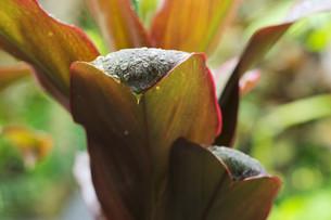 水滴をまとった南国の大きな葉の写真素材 [FYI01255490]