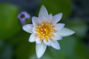 真上から写した白い花弁の睡蓮の写真素材 [FYI01255492]