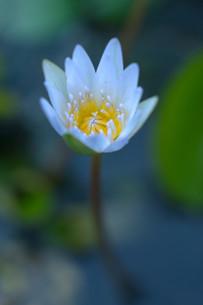 ダークな水面に浮き上がる白い睡蓮の花の写真素材 [FYI01255494]