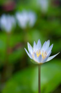 ボケた2輪を背景に咲く可憐な睡蓮の写真素材 [FYI01255495]