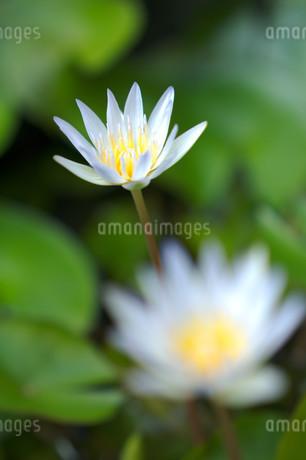 緑の葉の背景と前ボケの花のある睡蓮の花の写真素材 [FYI01255497]