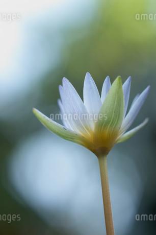 光り輝く背景での下から見上げた睡蓮の花の写真素材 [FYI01255498]